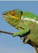 Chameleon_125