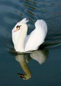 swan-TinaPhillips_125